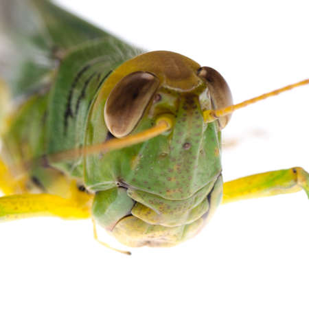 pest insect grasshopper isolated on white Stock Photo - 16447547