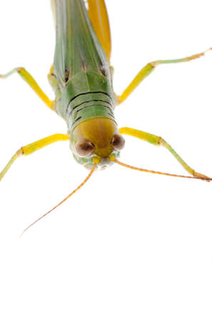 pest insect grasshopper isolated on white Stock Photo - 16447536