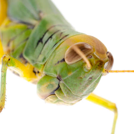 pest insect grasshopper isolated on white Stock Photo - 16447544