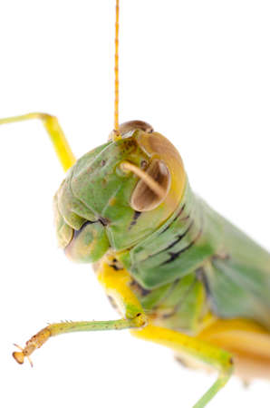 pest insect grasshopper isolated on white Stock Photo - 16447820
