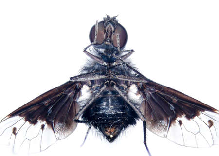 microscopic photos: microscopic micrograph of insect tiny fly,stacked from 16 photos into one