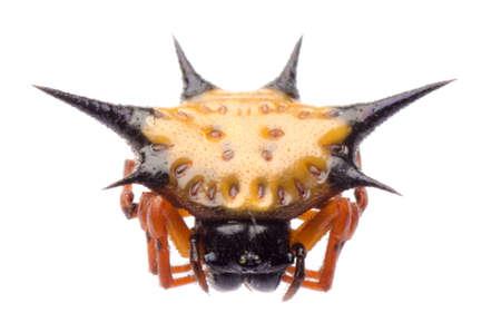 spiny: spiny spider spinybacked orbweaver isolated Stock Photo