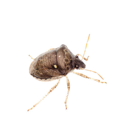 insect shield bug isolated on white Stock Photo - 17406743