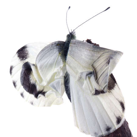 cocoon: insect small white butterfly emergence with cocoon isolated Stock Photo