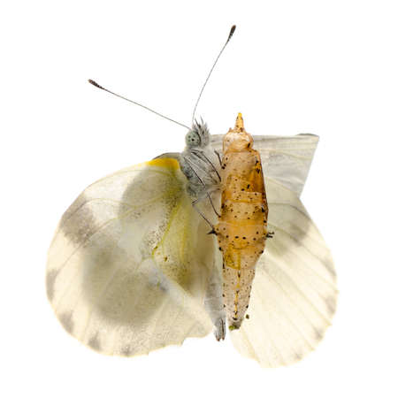 capullo: aparición de insectos mariposa pequeño capullo blanco con aislado
