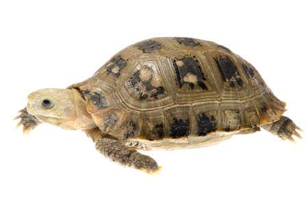 land shell: Burmese Elongated tortoise pet turtle Stock Photo