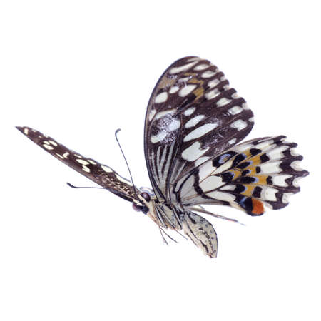 swallowtail: flying citrus swallowtail lime butterfly, Papilio demoleus,isolated on white
