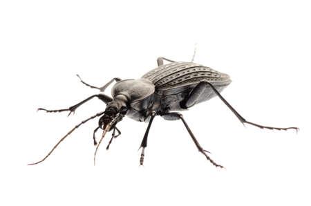 isolated animal insect ground beetle, studio shot