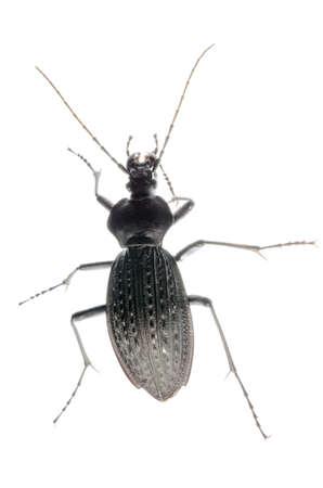 ground beetle: isolated animal insect ground beetle, studio shot