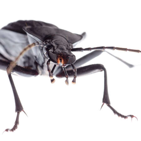 carabid: isolated animal insect ground beetle, studio shot