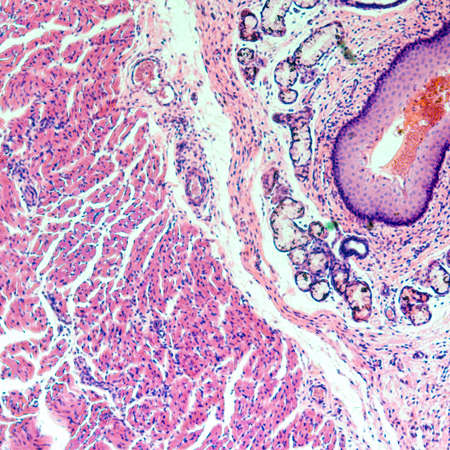 human skin cells: micrograph of medical science stratified squamous epithelium tissue cell