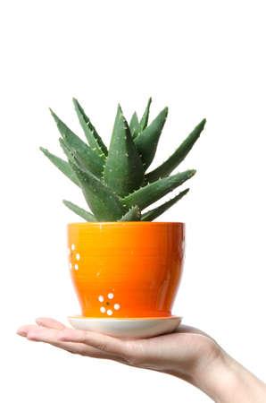 green aloes vera plant, barbados aloe, isolated Stock Photo - 17407022