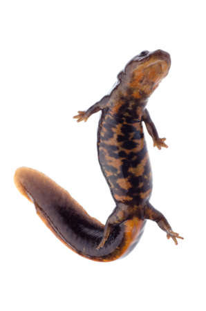 amphibious: animal amphibian salamander newt isolated Stock Photo