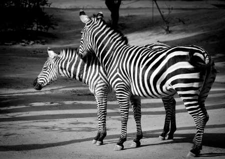 burchell: zebra couple on ground in zoo.