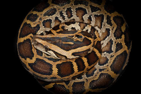 black boa: Boa snake reticulated python Stock Photo