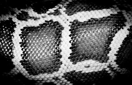 boa snake reticulated python