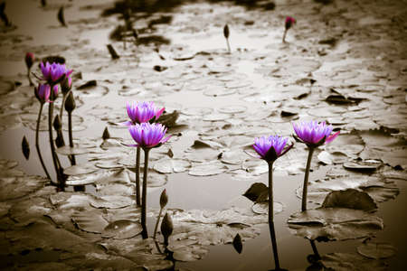 flor loto: lirio de agua de flor de loto en el jardín