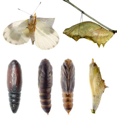 capullo: Conjunto de animales, mariposas y polillas capullo colección aislada Foto de archivo