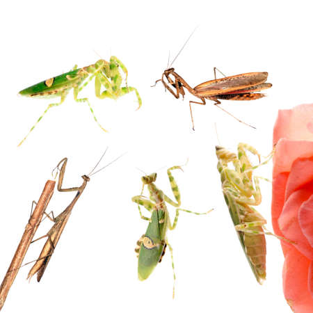 crawly: animal set, praying mantis collection isolated Stock Photo