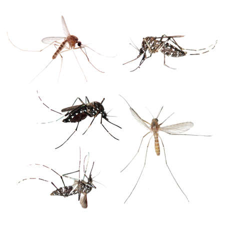 infected mosquito: animal set, mosquito bug collection isolated