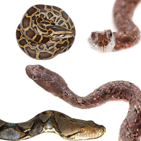 black boa: animal set, snake collection isolated on white