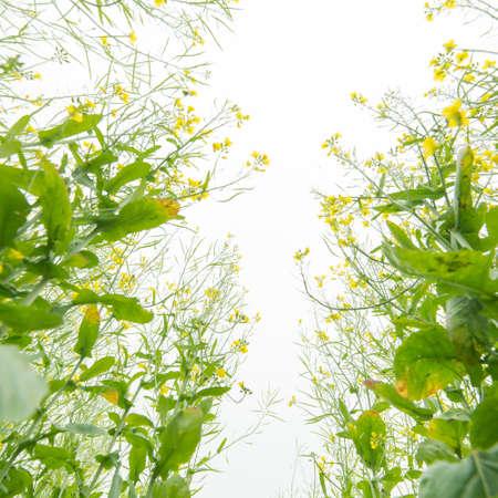 rape flower field Stock Photo - 19345483