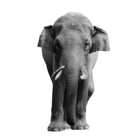 animal elephant isolated in white photo