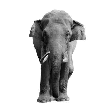 elephant nose: animal elephant isolated in white