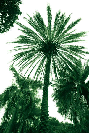 palm tree isolated on white photo