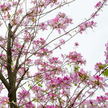 pink Chinese redbud flower , Bauhinia blakeana photo