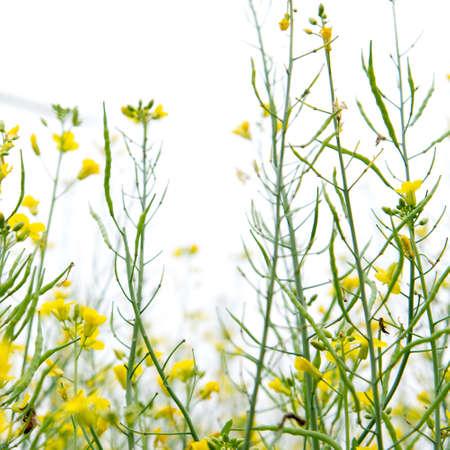 rape flower field Stock Photo - 20918661