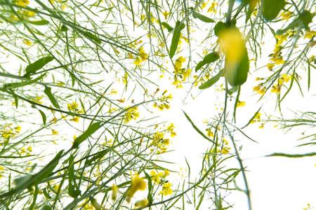 rape flower field Stock Photo - 20918690