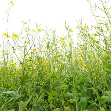 rape flower field Stock Photo - 20918423