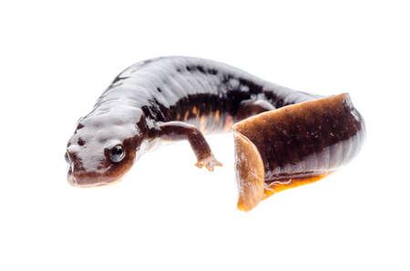 amphibian: animal amphibian salamander newt isolated Stock Photo