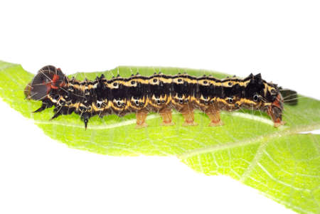 butterfly caterpillar larva on green leaf photo