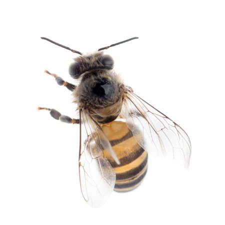miel de abeja: abeja de la miel de insectos aislados en blanco