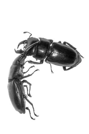 stag beetle fighting isolated on white photo