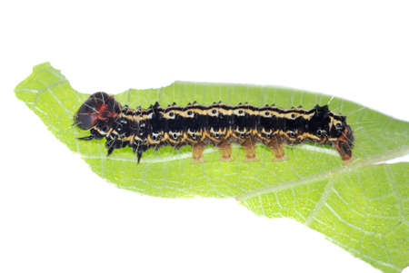 butterfly caterpillar larva on green leaf Stock Photo - 24242568