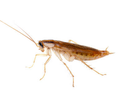 Japanese cockroach isolated