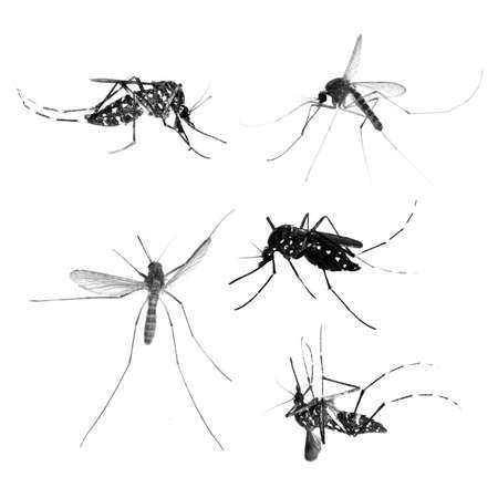 dengue: insect mosquito bug set isolated on white background Stock Photo