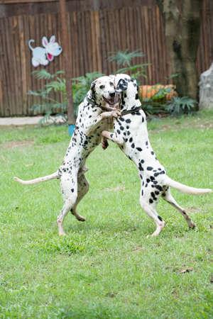 spotty: dalmatian spotty dog pet playing Stock Photo