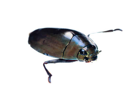 insect whirligig beetle isolated on white photo