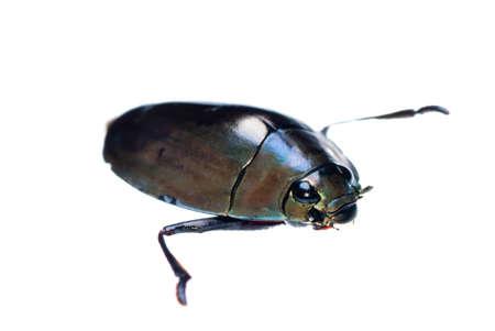 perinola: whirligig insecto escarabajo aislado en blanco