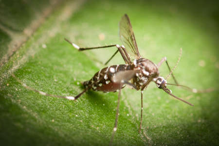 mosquito on leaf macro shot Stock Photo - 24248813
