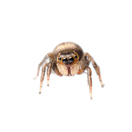animal black jumping spider isolated on white photo