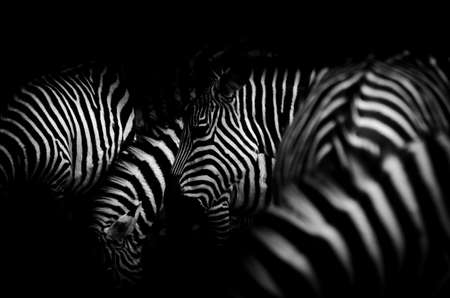 animal zebra black and white pattern texture photo