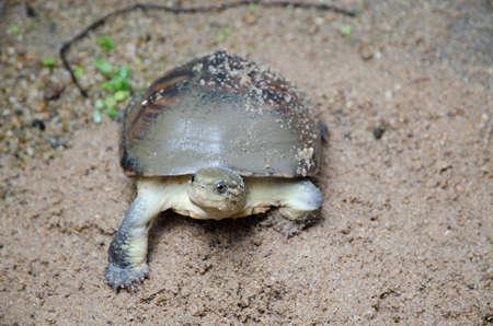 Asian yellow pond turtle, Mauremys mutica photo