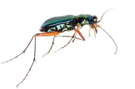 tiger beetle: insetto coleottero tigre verde, Hetodonta pulchella, isolato su bianco.