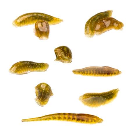 sanguijuela: animales colecci�n sanguijuela chupasangre m�dico aislado en blanco Foto de archivo