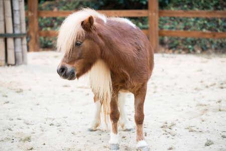 Shetland pony horse photo